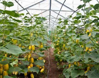Чередование выращивания овощных культур в теплицах из поликарбоната